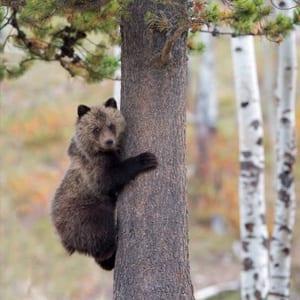 tree-hugger-bear